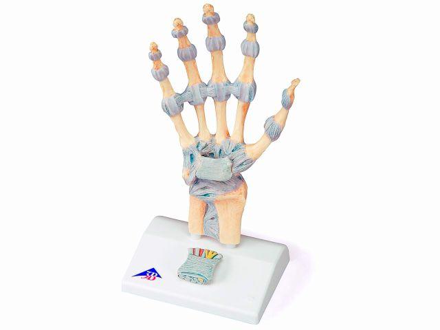 Modelo de Esqueleto da Mão - em 3 Partes - M33 - 3B Scientific