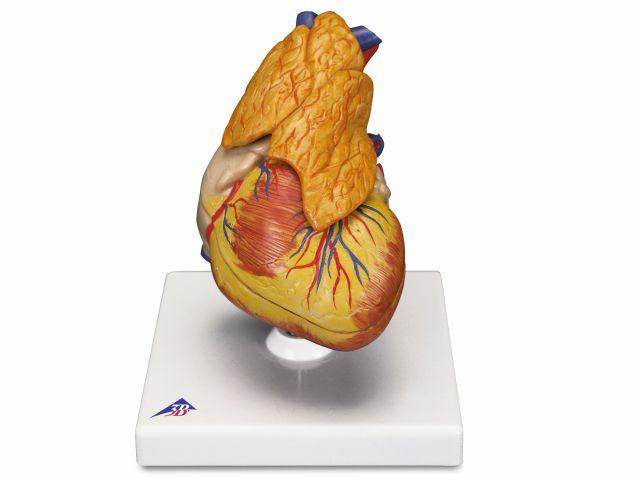 Coração Clássico - com Timo - em 3 Partes - G08/1 - 3B Scientific