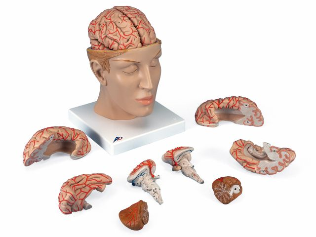 Cérebro com Artérias - em 8 Partes - C25 - 3B Scientific