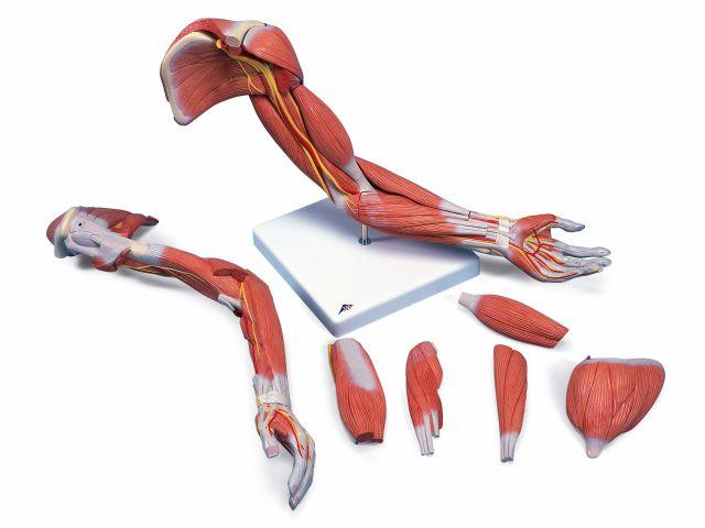 Braço Versão de Luxo com Musculatura em 6 Peças - M11 - 3B Scientific