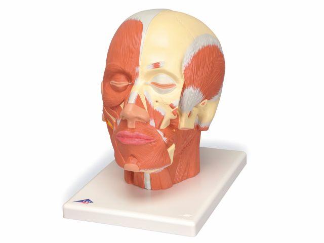 Musculatura da Cabeça - Vb127 - 3B Scientific