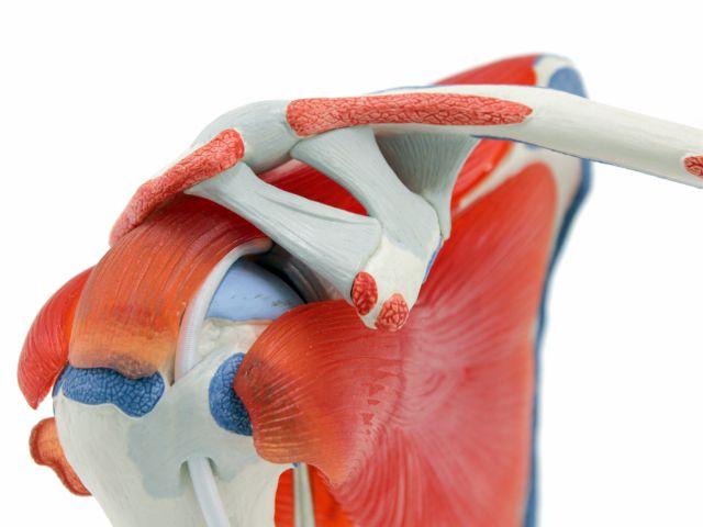 Articulação do Ombro - com Mangas e Rotores - em 5 Peças - A880 - 3B Scientific