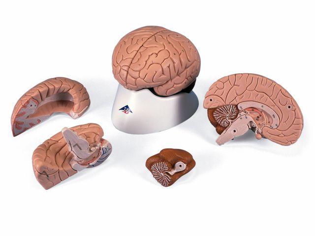 Cérebro - em 4 Partes - C16 - 3B Scientific