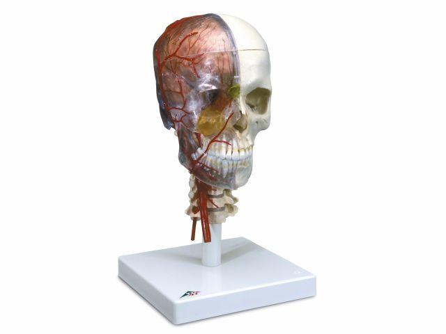 Crânio BONElike Versão de Luxo - 7 peças - A283 - 3B Scientific