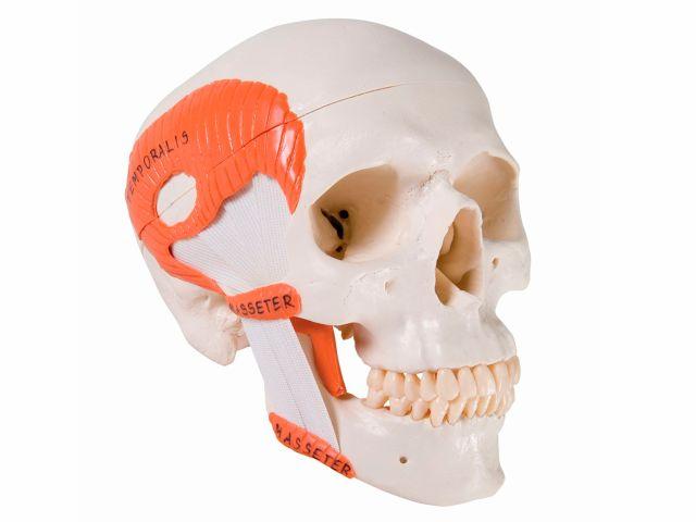 Crânio Clássico - com Músculos de Mastigação - A24 - 3B Scientific