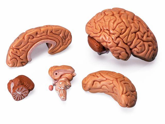 Cérebro Clássico - Desmontável em 5 Partes - C18 - 3B Scientific