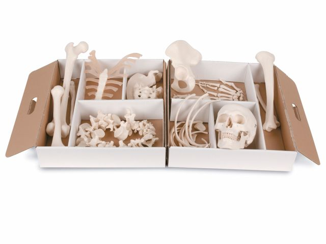 Meio Esqueleto Desarticulado - A04 - 3B Scientific