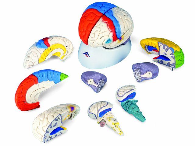 Cérebro de Luxo - Neuro-anatômico - em 8 Partes - C22 - 3B Scientific