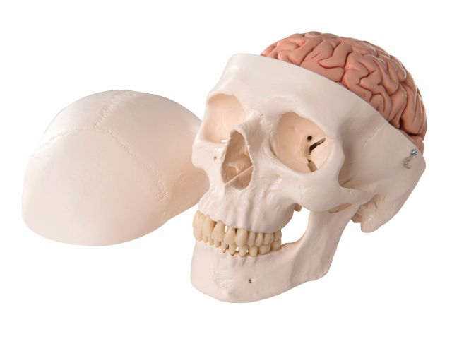 Crânio com Encéfalo - em 8 Partes - A20/9 - 3B Scientific