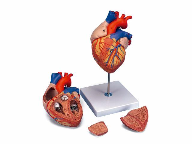Coração Clássico  - Ampliado em 2x - 4 Partes - G12 - 3B Scientific