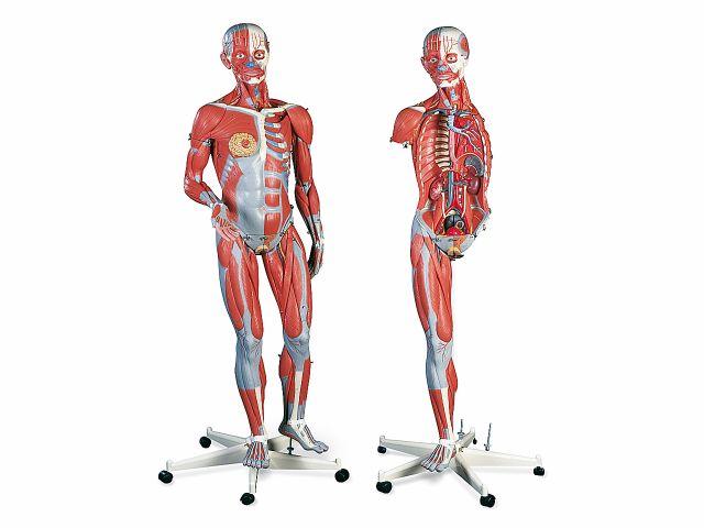 Figura Muscular em 45 Partes - Masculina e Feminina - B50 - 3B Scientific