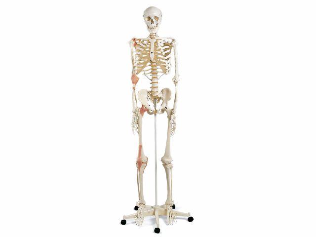 Esqueleto Leo - com Ligamentos das Articulações - A12 - 3B Scientific