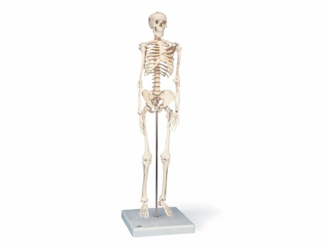 Mini Esqueleto Shorty - Suspenso em Tripé - A18/1 - 3B Scientific