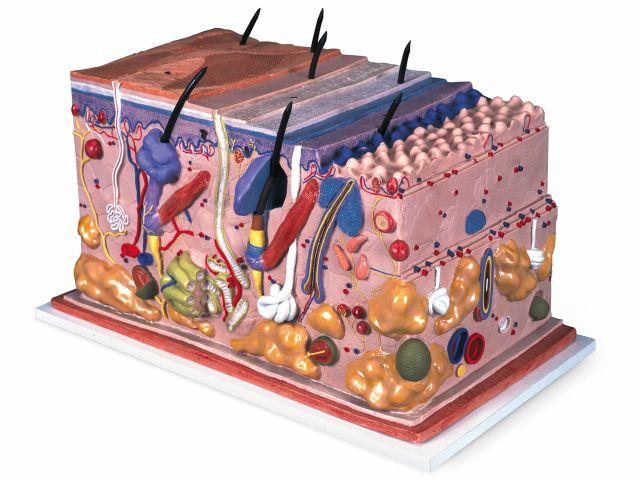 Modelo de Pele em Bloco - 70x o Tamanho Natural - J13 - 3B Scientific