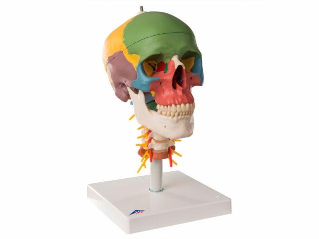 Crânio Montado Sobre Coluna - em 4 Partes - A20/2 - 3B Scientific