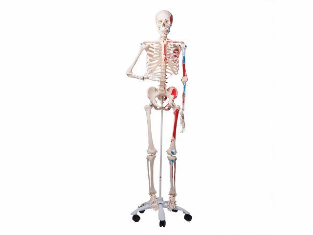 Esqueleto Max Clássico - com Apresentação dos Músculos e Suporte - A11 - 3B Scientific