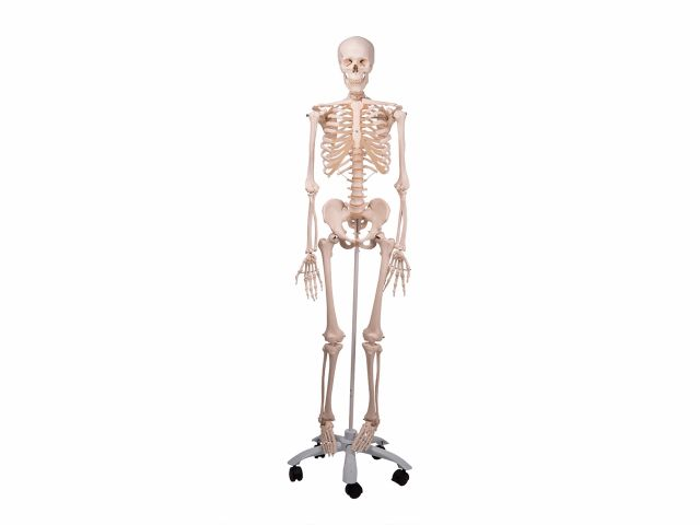 Esqueleto Stan - Clássico com Suporte e Rodas - A10 - 3B Scientific