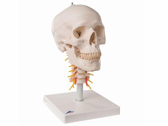 Crânio Montado sobre Coluna - em 4 partes - A20/1 - 3B Scientific