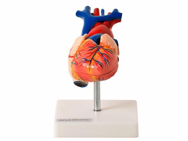 Coração Tamanho Natural - em 2 Partes - TGD-0322 - Anatomic