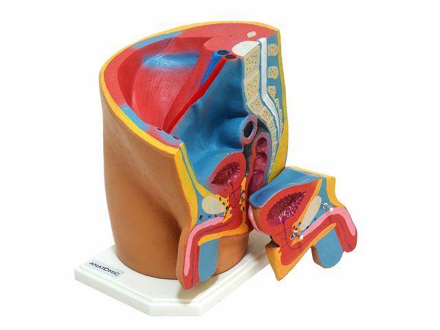 Pelve Masculina em 2 Partes Desmontável - TGD-0353-M - Anatomic