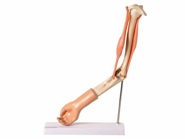 Braço Articulado com Músculo - TGD-0330-A - Anatomic
