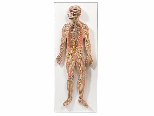 Sistema Nervoso em Placa - Metade do Tamanho Natural - C30 - 3B Scientific