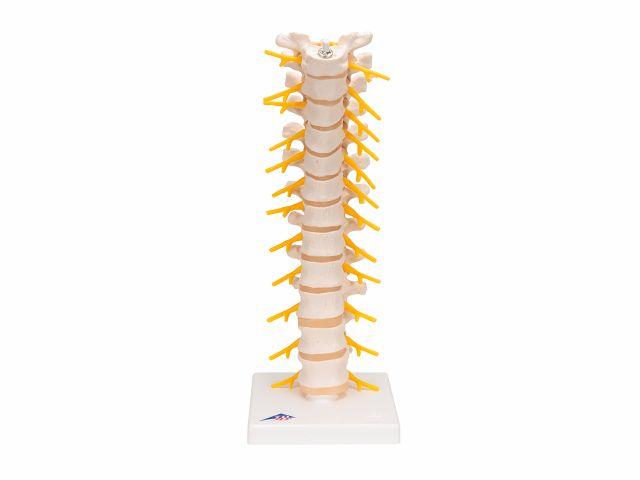 Coluna Vertebral Torácica - A73 - 3B Scientific