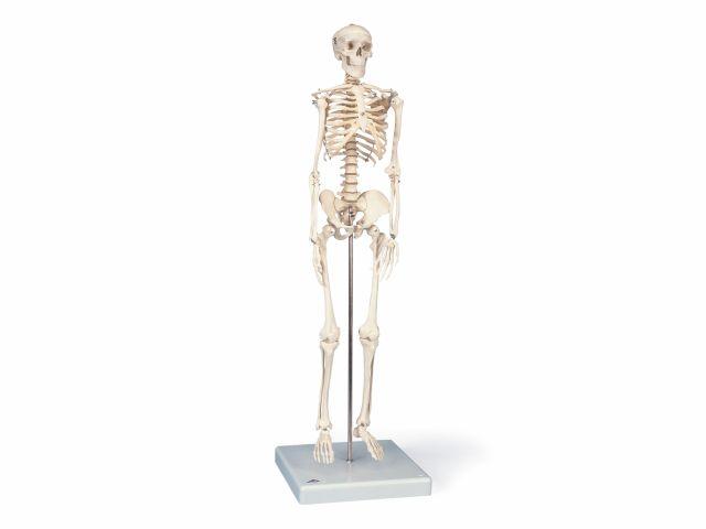 Mini Esqueleto 80cm - Shorty - A18 - 3B Scientific