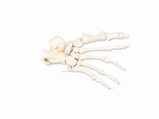 Esqueleto do Pé Direito - A30/2R - 3B Scientific