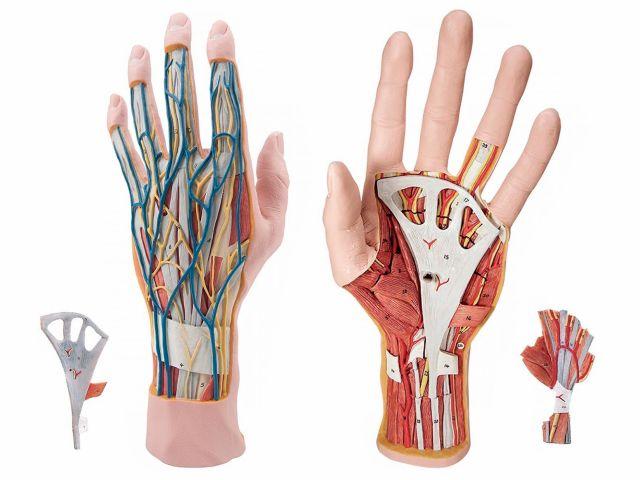 Modelo Estrutural da Mão em 3 Partes - M18 - 3B Scientific