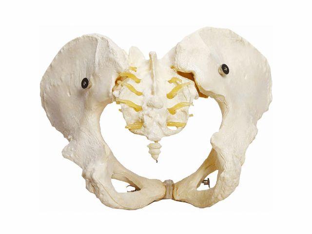 Esqueleto Pélvico Feminino - TGD-0169-B - Anatomic