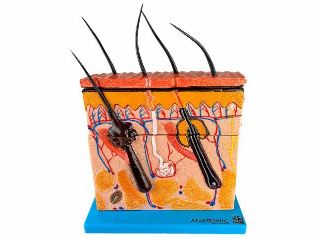 Pele em Corte Mediano - TGD-0331 - Anatomic