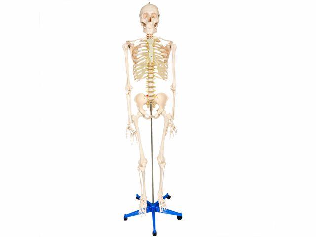 Esqueleto com 1,70m de Altura - TGD-0101 - Anatomic