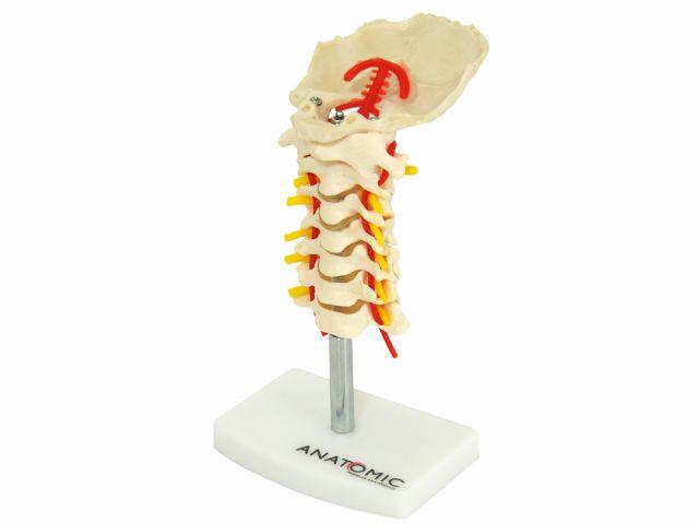 Coluna Vertebral Cervical - TGD-0142-A - Anatomic