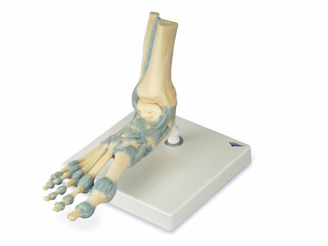 Modelo de Esqueleto - do Pé com Ligamentos - M34 - 3B Scientific