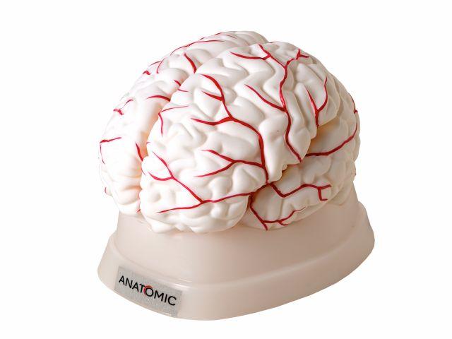 Cérebro com Artérias Desmontável em 8 Partes - TGD-0303 -Anatomic
