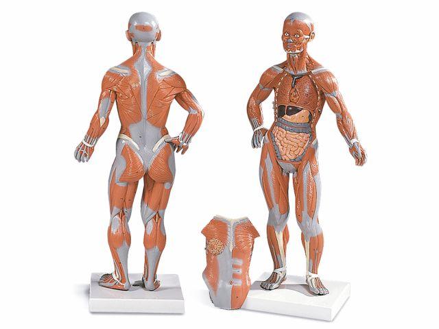 Figura Muscular - 1/3 do Tamanho Natural - com Placa Removível - 3B Scientific