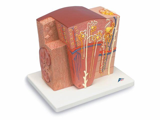 Rim MICROanatomy - K13 - 3B Scientific
