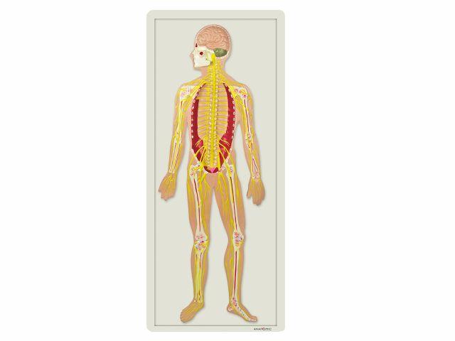 Sistema Nervoso em Placa - TZJ-0328-B - Anatomic