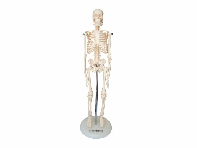Esqueleto 45 cm - TGD-0121 - Anatomic