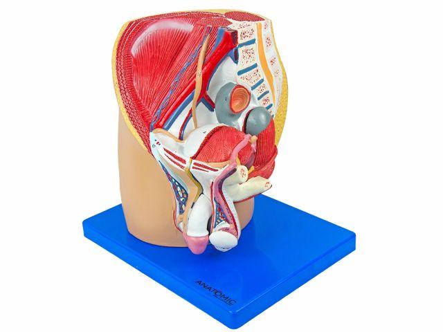 Pelve Masculina com 4 partes em Corte Mediano - TZJ-0353-M - Anatomic