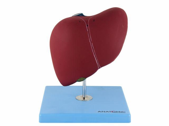 Fígado Básico - TZJ-0324-A - Anatomic