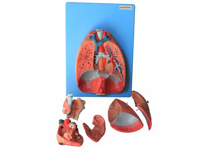 Pulmão de Luxo - TZJ-0318-A - Anatomic