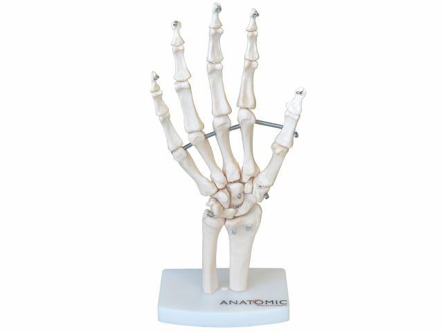 Esqueleto da Mão com Ossos do Punho - TGD-0157-B - Anatomic