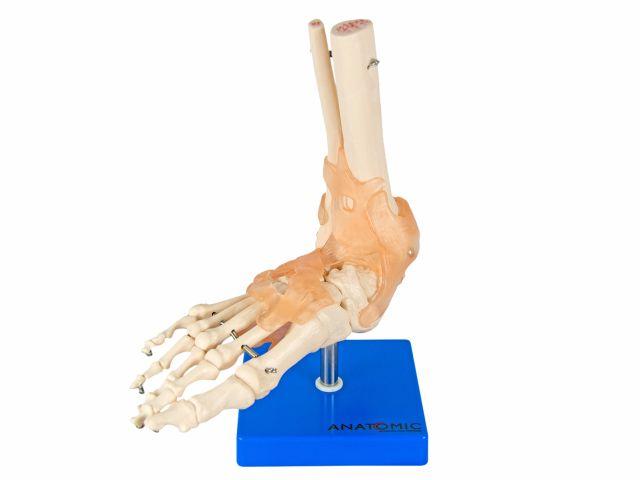 Articulação do Pé com Ligamentos - TGD-0165-C - Anatomic