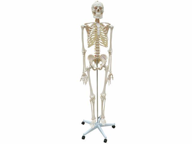 Esqueleto com Coluna Flexível 1,68cm de Altura - TGD-0101-B - Anatomic