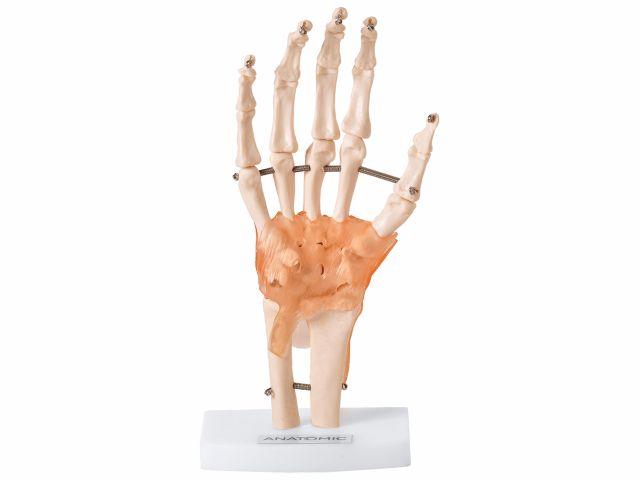Articulação da Mão com Ligamentos - TGD-0162-C - Anatomic