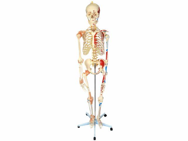 Esqueleto Articulado com Ligamentos e Inserções Musculares com Suporte e Base com Rodas - TGD 0101A - Anatomic