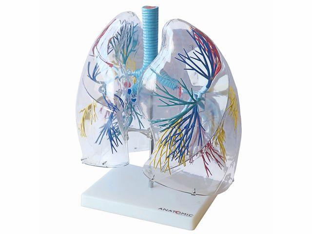 Pulmão Transparente - TGD-0319 - Anatomic
