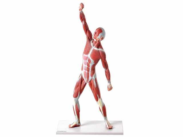 Manequim Muscular com 50 cm -TZJ-4005 - Anatomic